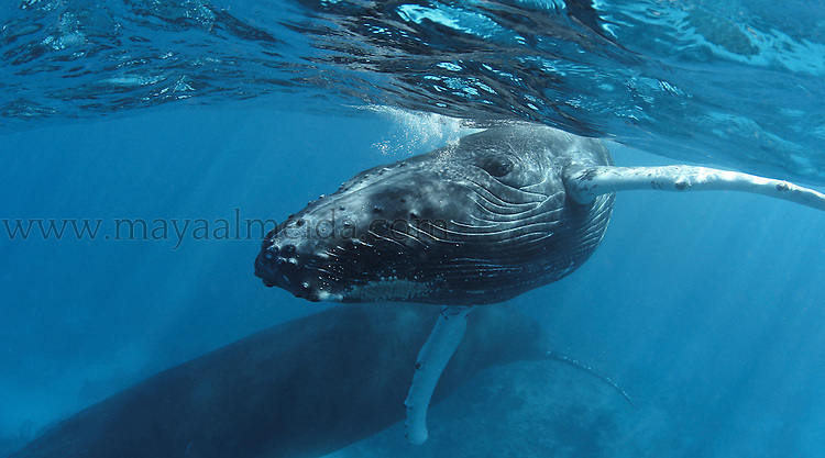 This shot of a very young Humpback Whale calf (Megaptera novaeangliae) was taken in Silver Bank Sanctuary. The Silver Bank is located 100 km north of the Dominican Republic and about the same distance from the Turks & Caicos Islands and is a major breeding and calving zone of humpback whales. Research indicates that the Silver Bank contains the largest population of humpbacks in the North Atlantic Ocean.This young calf which was about a month old was learning how to undertake 3-5min breathing cycles whilst the mom waits below.  This image was predictably taken on the last day of our week at sea and no scuba equipment or strobes. I spent four hours in the water waiting for the whale mom (who never allows the calf to distance itself much) to feel comfortable with our presence. It was shot after a short freedive when this curious calf came within an arm´s distance of to take a good look and I actually had to move out of the way!