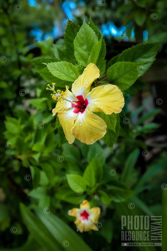 Yellow hibiscus flower in bloom with rain drops on petals, Tauono's Garden, Aitutaki Island, Cook Islands.