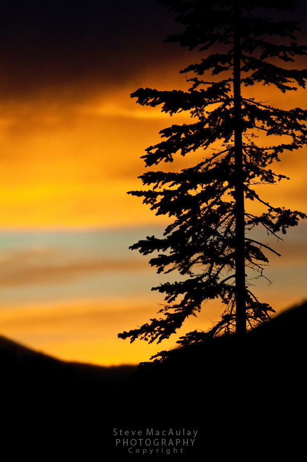 Pine Tree silhoutted against a colorful sunset, Colorado