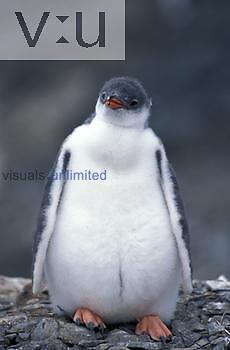 Gentoo Penguin chick ,Pygoscelis papua, Antarctica
