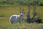 BEAR; polar bear