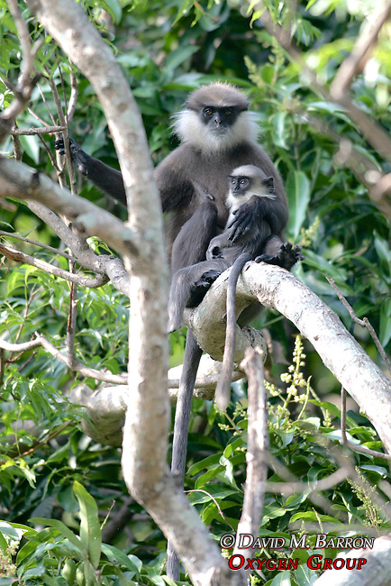 Purple-faced Langur And Offspring