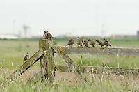 Starling {Sturnus vulgaris} Fledglings Perched on a Gate 2
