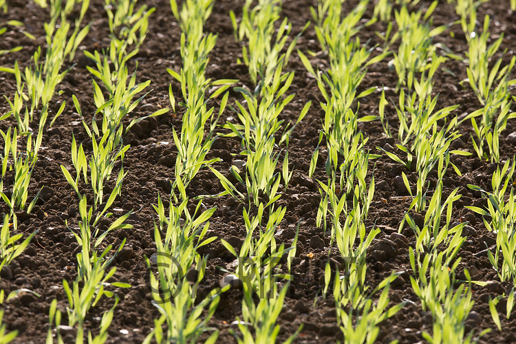 Winter Barley plants<br /> Picture Tim Scrivener 07850 303986<br /> &hellip;.covering agriculture in the UK&hellip;.