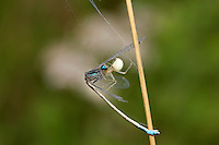 Comb-footed Spider - Enoplognatha ovata - with Damselfly prey.