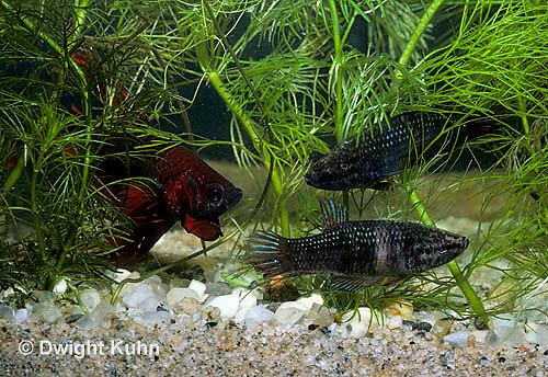 BY04-003z  Siamese Fighting Fish - male chasing females away from nest - Betta splendens