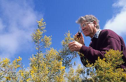 Botanist studying Pretty Wattle (Acacia decora) near West Wyalong, New South Wales.