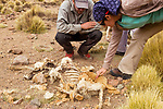 Andean Mountain Cat (Leopardus jacobita) biologists, Juan Reppucci and Cintia Tellaeche, looking at Vicuna (Vicugna vicugna) killed by Mountain Lion (Puma concolor), Abra Granada, Andes, northwestern Argentina