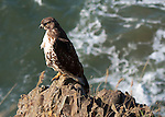Juvenile Redtail Hawk on rock outcropping on cliffs above ocean along the Oregon Coast