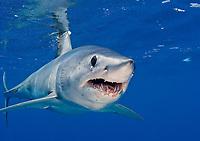 shortfin mako shark, Isurus oxyrinchus, Cape Point, Cape Town, South Africa, Atlantic Ocean