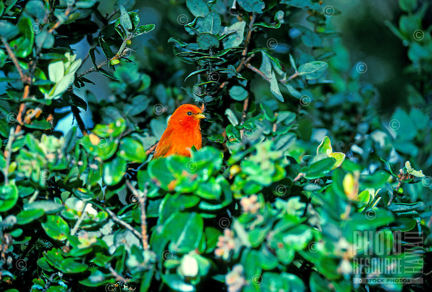 Endangered akepa in ohia tree, (loxops coccineus). This species is found only on Hawaii. The male of this species is briliant orange.