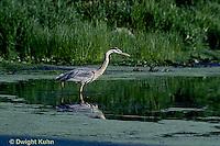 HN01-021z  Great Blue Heron - adult bird in pond in Maine - Ardea herodias