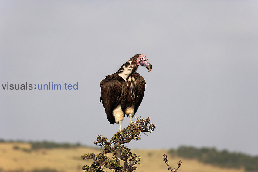 Lappet-faced Vulture (Torgos tracheliotus), Masai Mara, Kenya