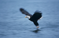 Bald Eagle, Haliaeetus leucocephalus,adult in flight, Homer, Alaska, USA, March 2000