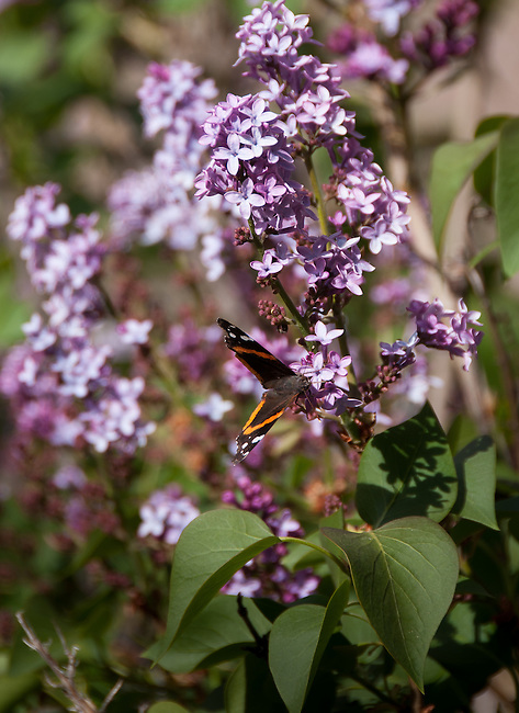butterfly on lilac bush, near the North Fork of the Big Thompson River, Larimer County, Drake, Colorado, USA