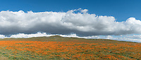 A panoramic view of the poppies of Antelop Valley Poppy Reserve, California.