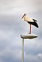 White Stork (Ciconia ciconia) on lampost at motorway service station, France. August.