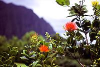 Ohia lehua bloom, Metrosideros polymorpha, Hoomaluhia park, Koolau Mts. background