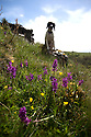 20/05/15<br /> <br /> Seven-month-old springer spaniel, Chester, warms up in the sunshine surrounded by stunning early purple orchids blooming in Lathkill Dale in the Derbyshire Peak District near Bakewell. Lathkill Dale is one of the finest limestone dales in the county and the rare flowers are thriving after continued sunshine and showers.<br /> <br /> <br /> All Rights Reserved: F Stop Press Ltd. +44(0)1335 418629   www.fstoppress.com.
