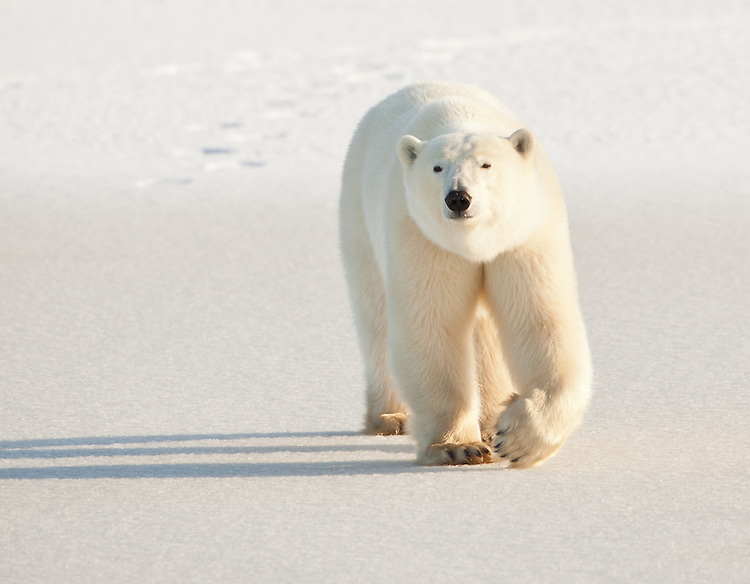 Polar Bear walking across the snow