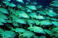 Smallmouth grunt, Haemulon chrysargyreum, Caribbean, Atlantic Ocean
