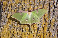 Luna Moth male; Actias luna; NC, Rocky Mount