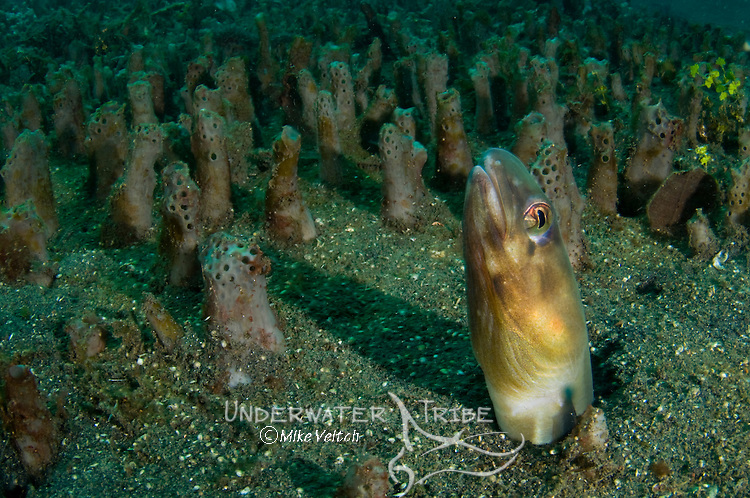 Bigeye conger blending in with sponge field, Ariosoma anagoides, Lembeh Strait, Bitung, Manado, North Sulawesi, Indonesia, Pacific Ocean