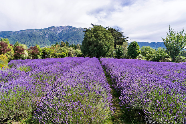Field of lavender at Lavender Farm in Kaikoura, South Island, New Zealand