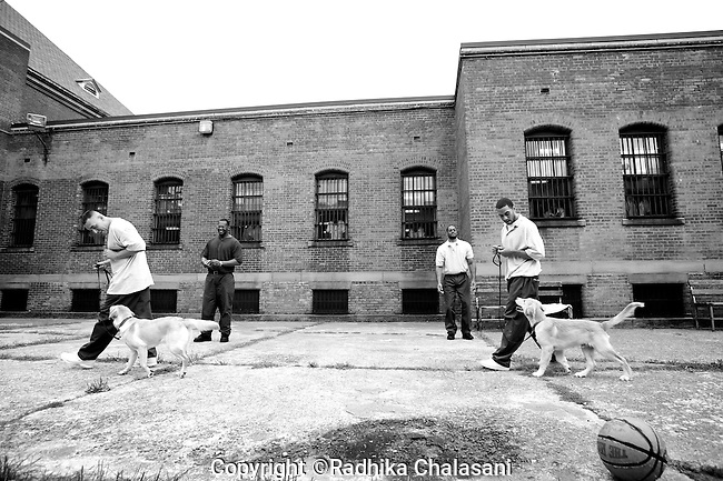 BEACON, NEW YORK:  Prisoners walk their puppies  around the courtyard to teach them not to respond to distractions as balls are thrown around during a training class for the Puppies Behind Bars (PPB) program at Fishkill Correctional Facility. The  program prepares puppies to be service dogs and consists of one day of class a week on topics such as obedience training, grooming, basic care of the dogs. The dogs spend 18-04 months in the program working with the prisoners.