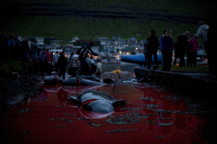 A dead pilot whale floats in the shallow water as a crowd of onlookers watches the rest of pod being brought in on July 18, 2010 in Klaksvík.  Even though the kill took place in the middle of the night, much of the town came out to watch and participate.