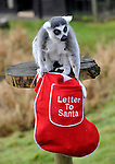 ....ZSL Whipsnade Zoo's animals will be waking up to Christmas a week early as keepers give them a host of festive treats to get them in the holiday spirit..... ....Meerkats Paul, George and Ringo will be posting letters to Santa in their very own red post-box, before enjoying home-made Christmas crackers stuffed full of tasty treats..... ....The ring-tailed lemurs, including twins Billy and Taffy, will receive stockings filled with their favourite snacks and some extra-special presents to unwrap, while the Zoo's oriental small-clawed otters and sealions are set to be treated to Christmas dinner with a difference, as they are given some festive frozen treats...Keeper Mark Holden said: ?Whipsnade's animals are really inquisitive by nature and love investigating new things. Not only will our gifts give them the chance to use their natural curiosity, they'll enjoy them too- they're the perfect festive enrichment activities.?..Visitors to ZSL Whipsnade Zoo this Christmas can see the Zoo's herd of reindeers, take part in interactive to prepare gifts for the chimps, and visit Santa in his fairytale grotto. Book tickets now at www.zsl.org.... ..