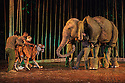 London, UK. 18.05.2016. Regent's Park Open Air Theatre presents RUNNING WILD, by Michael Morpurgo, in an adapttion by Samuel Adamson. the production is directed by Timothy Sheader and Dale Rooks, design is by Paul wills and lighting design by Paul Anderson. Picture shows: The Tiger, Oona the Elephant. Photograph © Jane Hobson.