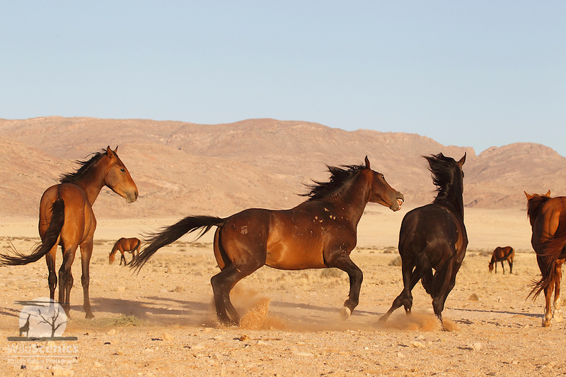 Fighting wild horses in the Namib Desert