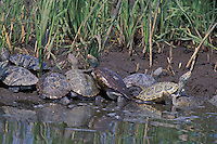 Diamondback Terrapins;  Malaclemys terrapin; basking in salt marsh; NJ, Delaware Bay
