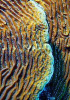 Scroll coral (agaricia undata); Roatan, Honduras.