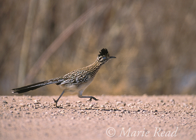 Greater Roadrunner (Geococcyx californianus) adult running along a road, New Mexico, USA<br />