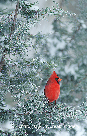 01530-089.02 Northern Cardinal (Cardinalis cardinalis) male in juniper tree in winter, Marion Co.  IL