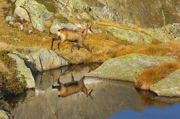 Chamois (Rupicapra rupicapra), young with reflection in lake, Grimsel, Bern, Switzerland