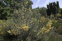 Besenginster, Besen-Ginster, Besenpfriem, Ginster, Cytisus scoparius, syn. Sarathamnus scoparius, Common Broom, Genêt à balais