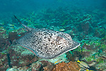 Cocos Island, Costa Rica; a Marbled Ray (Taeniura meyeri) swimming over the rocky reef