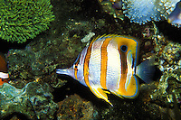 The copperband butterfly fish is one of Waikiki aquarium's colorful species
