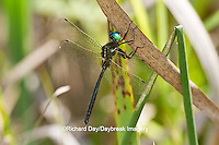 06544-00220 Hine's Emerald dragonfly (Somatochlora hineana) male perched in Barton Fen, Reynolds Co., MO