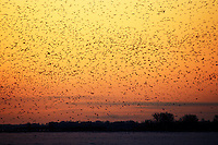 A flock of ducks in flight at dawn.