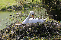 Female mute swan building her nest, Donnington, Gloucestershire, The Cotswolds, England, United Kingdom