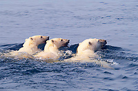 mother polar bear, Ursus maritimus, with cubs swimming in sub-arctic Wager Bay, near Hudson Bay, Churchill area, Manitoba, northern Canada, polar bear, Ursus maritimus