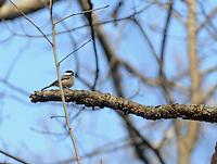 NWA Democrat-Gazette/FLIP PUTTHOFF<br /> A chickadee seen Dec. 1, 2015 along the trail.