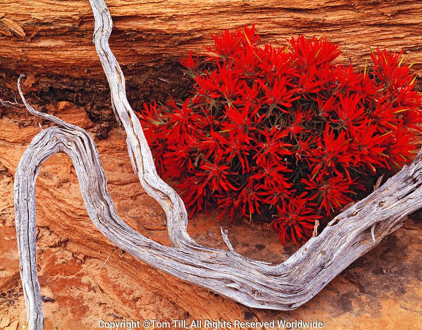 Indian Paintbrush, Zion National Park, Utah