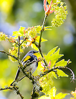 Gift card photo of Audubon warbler also known as a yellow-rumped warbler Audubon sitting on a branch