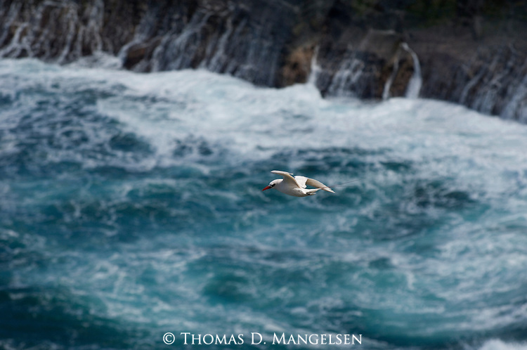 Red-tailde Tropicbird flying above the surf in Hawaii.