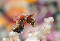 Pontoh's pygmy seahorse, or weedy pygmy seahorse, Hippocampus pontohi, Romblon, Philippines, Pacific Ocean